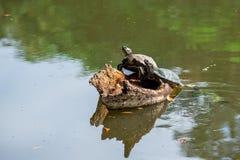 Schildkrötenfamilie Lizenzfreie Stockbilder
