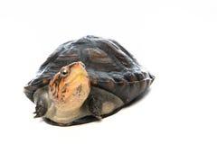 Schildkrötenporträt im grauen Hintergrund Stockfotografie