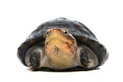 Schildkrötenporträt im grauen Hintergrund Lizenzfreie Stockfotos