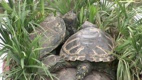 Schildkrötenschildkröte, die 400 Jahre in Galapagos alt ist stock video