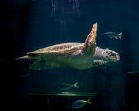 Schildkrötenschwimmen Lizenzfreie Stockfotos