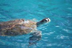 Schildkrötenschwimmen Lizenzfreies Stockbild