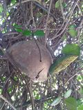 Schildkrötenwindglockenspiel in verwirrter Rebe des Jasmins stockbild
