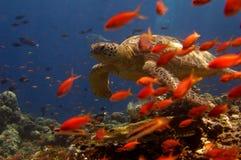 Schildkröteschwimmen hinter orange Fischen Stockfoto