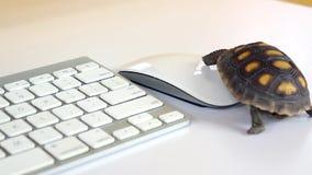 Schildkr?te auf Computer mit Tastatur und drahtloser Maus, langsames Internet