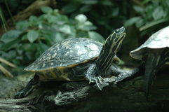 Schildkröte am Tampa Florida-Aquarium Lizenzfreie Stockfotografie