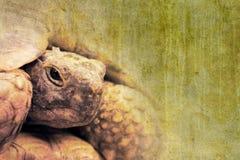 Schildpad stock fotografie