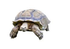 Schildpad Royalty-vrije Stock Afbeeldingen