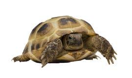 Schildpad stock foto's