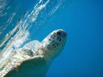 Schildpad aan de oppervlakte van water Stock Afbeeldingen