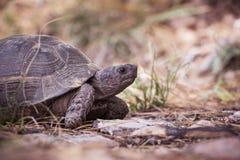 Schildpad in aard Royalty-vrije Stock Foto's