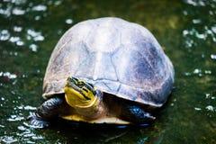 Schildpad in aard Stock Fotografie