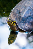 Schildpad in aard Stock Foto's