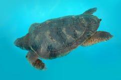 Schildpad bij blauw water Royalty-vrije Stock Afbeeldingen