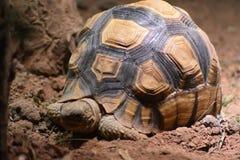 Schildpad bij de dierentuin van Chester royalty-vrije stock fotografie