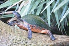 Schildpad bij een Aarddomein in Florida Royalty-vrije Stock Foto's