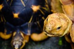 Schildpad, bruin en zwart Stock Afbeelding