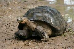 Schildpad in de Galapagos eilanden Royalty-vrije Stock Afbeeldingen