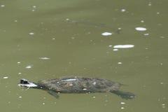 Schildpad in de rivier Stock Foto