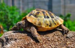 Schildpad in de tuin Royalty-vrije Stock Fotografie