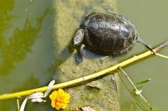 Schildpad in de vijver Stock Foto