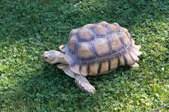 Schildpad die aan het gras lopen Stock Afbeeldingen