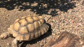 Schildpad die in de Dierentuin bij zonnige de zomerdag lopen Europa, Polen stock video