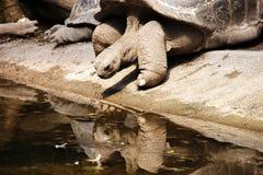 Schildpad die in de waterspiegel wordt weerspiegeld Stock Foto's
