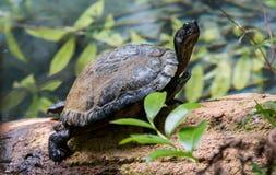 Schildpad die in de Zon op Logboek zonnebaden Stock Afbeeldingen