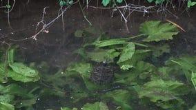 Schildpad die in een vijverwateren zwemmen stock video