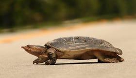 Schildpad die een weg kruist Stock Afbeelding