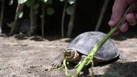 Schildpad die gras van hand van Kaukasische vrouw eten stock video