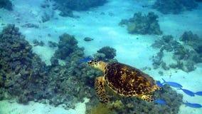 Schildpad die in koraalrif zwemmen stock videobeelden