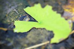 Schildpad die leliestootkussen eten Stock Foto