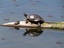 Schildpad die met Baby zonnebaadt Stock Afbeelding