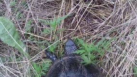 Schildpad die naar rivier gaan stock video