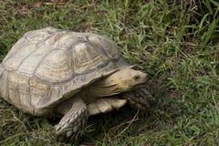 Schildpad die onder de hitte wordt verzameld stock foto's