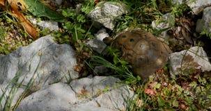 Schildpad die op de rotsen lopen stock video