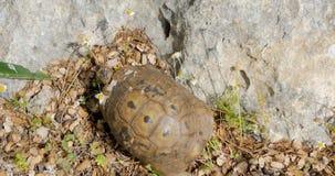 Schildpad die op de rotsen lopen stock footage