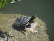 Schildpad die op de rotsen van de lagune zonnebaden Stock Afbeeldingen