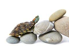 Schildpad die op de stappen beklimmen stock foto's