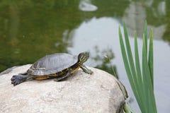 Schildpad die op een steen zonnebaadt Royalty-vrije Stock Foto