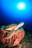 Schildpad die op een zachte spons rusten stock foto