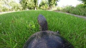 Schildpad die op gras gaan stock footage