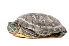 Schildpad die op wit wordt geïsoleerdl Stock Afbeelding