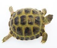 Schildpad die op wit wordt geïsoleerdt Royalty-vrije Stock Afbeeldingen