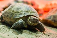 Schildpad die op Zand lopen Stock Foto
