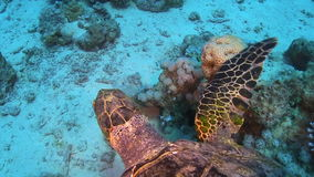 Schildpad die over Coral Reef zwemmen stock footage