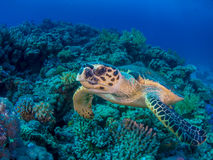Schildpad die over Coral Reef zwemmen royalty-vrije stock fotografie