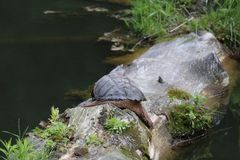 Schildpad die uit koelen royalty-vrije stock fotografie